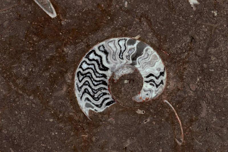 Grande Fossile (polished)